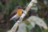 White-bellied Robin-Chat