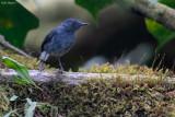 White-tailed Warbler