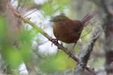 Evergreen-forest Warbler