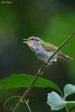 Black-capped Woodland Warbler
