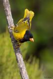 Oriole Finch