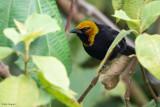 Black-billed Weaver