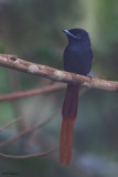 Rufous-vented Paradise-flycatcher