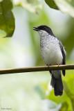 African Forest-flycatcher