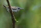 Oilve Sunbird