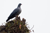 Cameroon Olive-pigeon