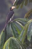 Congo Pied Hornbill