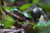 White-throated Antbird