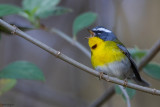 Crescent-chested Warbler