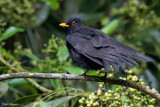 Black Thrush