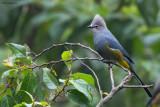 Grey Silky-flycatcher