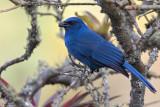 Unicolored Jay