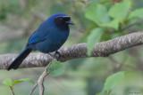 Black-throated Jay