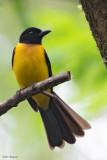 Black-throated Shrike-tanager