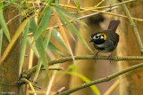 Grey-crowned Ground-sparrow