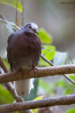 Maroon-chested Ground-Dove