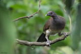 White-bellied Chachalaca