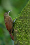 Northern Spotted Woodcreeper