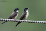 Black-capped Swallow