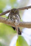 Mountain Pygmy-Owl