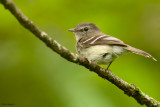 Gray-breasted Flycatcher