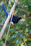 Silvery-throated Jay
