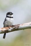 Lesser Pied Puffbird