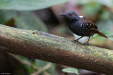 Dull-mantled Antbird