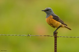 Senitil Rock-Thrush