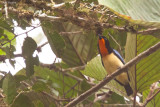 Orange-throated Tanager