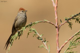 Rusty-crowned Tit-Spinetail