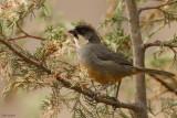 Rusty-bellied Brush-Finch
