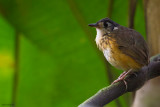 White-lored Antpitta