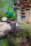 Crimson-rumped Toucanet vs. Cloud-forest Pygmy-Owl