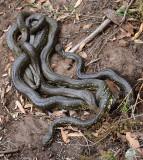 Mating pythons