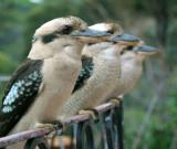 Three kookaburras