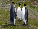 King Penguins in conference, South Georgia Island