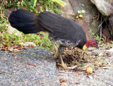 Brush Turkey in Frances's garden