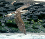 Blue-footed booby in flight