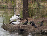 Pelicans and – what are those black things?