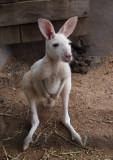 Small white kangaroo