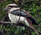 George: Frances's resident kookaburra