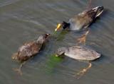 Dusky moorhen with chicks