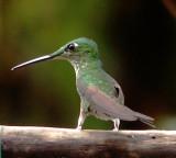 A different Humming bird