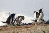 Gentoo penguins with chicks