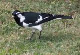 Magpie-lark (male)