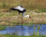 Yellow-billed stork – or is it?