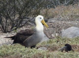 Waved Albatross with chick