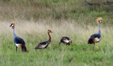 Grey-crowned crane family