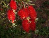 Melaleuca citrina (otherwise Callistemon citrinus - otherwise bottlebrush)